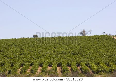 Vineyards In Douro, Oporto,  Portugal