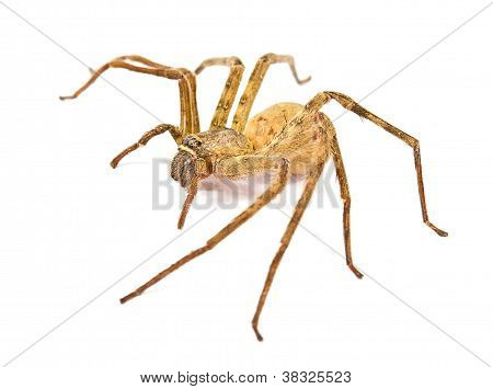 House Spider isolated on white background