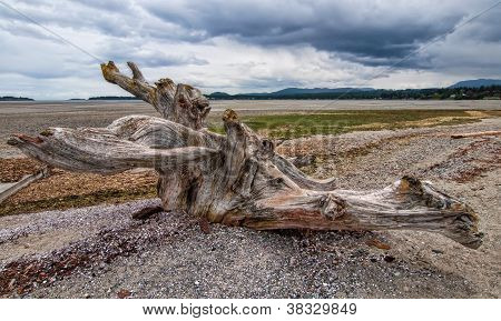 Large Tree Stump Driftwood On Beach