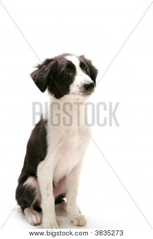 Sitting Border Collie On White