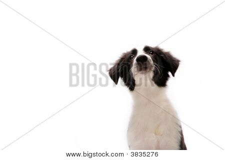 Border Collie On White