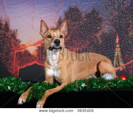 Mixed Breed Dog Holiday Portrait