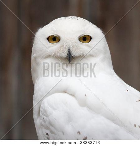 Snowy owl frontal