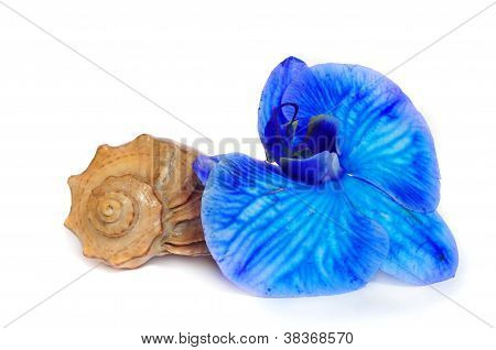 Shell And Blue Orchid Isolated On White Background