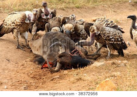 Vultures feeds on wildebeest