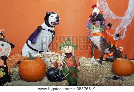 Pitbulls dressed up for Halloween
