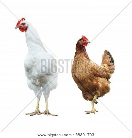 funny surprised rooster and hen, isolated