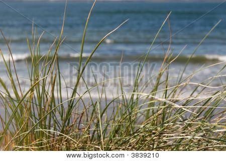 Long Dune Grasses