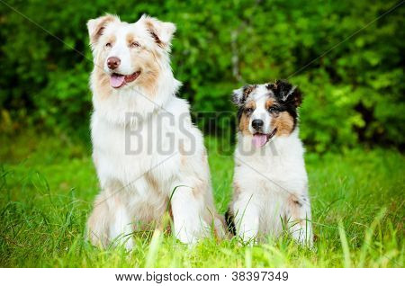 australian shepherd dogs family