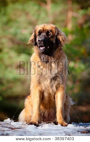 leonberger dog portrait outdoors