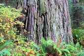 image of redwood forest  - Lush green Coastal Redwood tree forest during autumn taken in Northern California - JPG