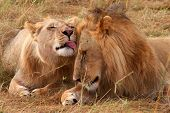 image of lioness  - Young male lion and a wounded lioness in Masai Mara National Park  - JPG