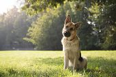 stock photo of tilt  - young german shepherd sitting on grass in park and looking with attention at camera tilting head - JPG