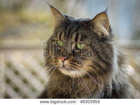 a closeup shot of a Maine Coon Cat