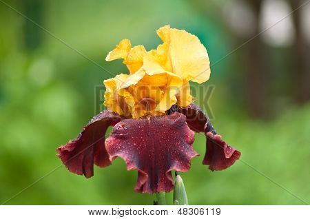 Yellow And Violet Iris