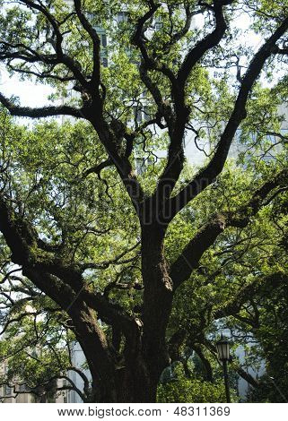 Southern Live Oak Tree  Quercus virginiana