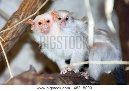 Silvery marmoset with a baby