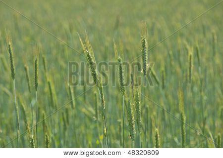 Verdant Field Crops