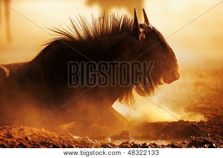 Blue wildebeest portrait in dust - Kalahari desert - South Africa