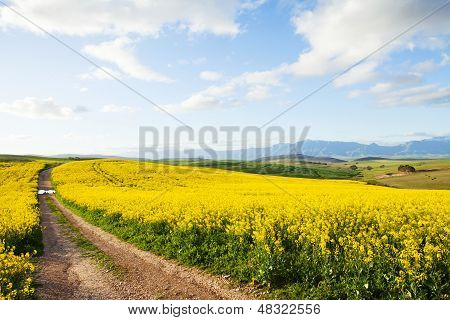 Farm Dirt Road Between Yellow Canola Flower Fields