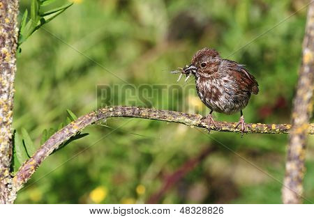 Song sparrow with a mouth full of bugs
