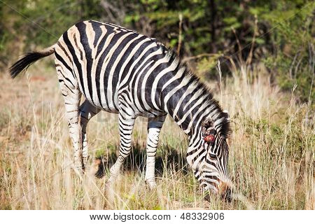 Single Wounded Zebra Grazing Between Tall Grass