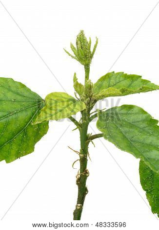 Hibiscus plant attacked by aphids isolated on white