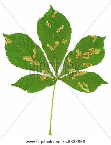 Leaf of chestnut tree attacked by horse-chestnut leaf miner Cameraria ohridella