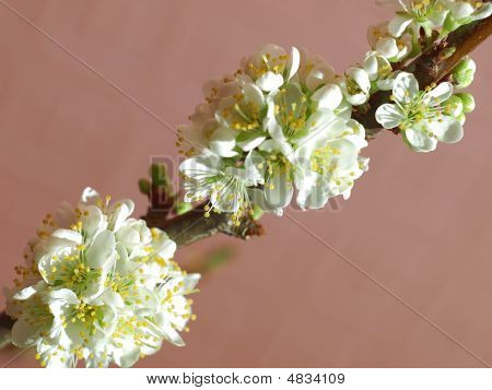 Blooming Plum Tree Branch
