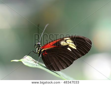 Doris Longwing Butterfly Resting On A Leaf