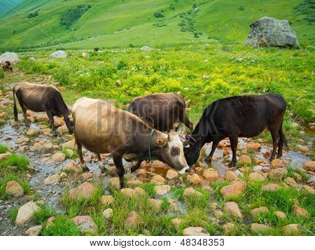 Cows drink seltzer from a spring in the valley river Enguri in Svaneti, Georgia.