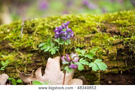 Purple flower of Hollowroot in the spring Corydalis cava