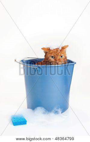 Orange Cat Getting a Bath in a Blue Bucket