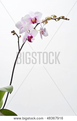 Moon' Orchid With Leaves