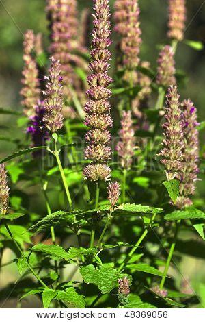 peppermint plant flower ih garden