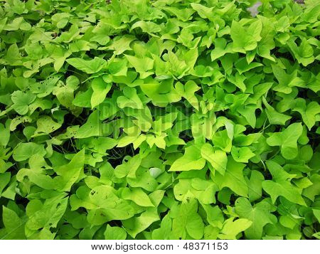 Sweet potato plants - leaves