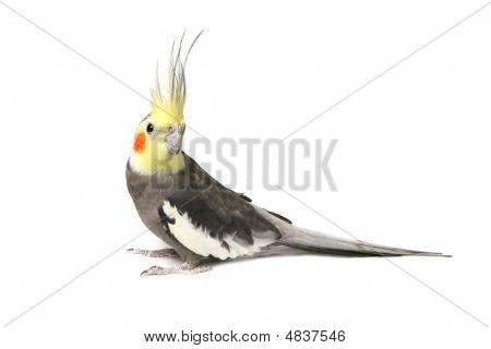 Cute Grey Curious Cockatiel