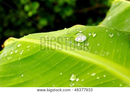 Banana Leaves And Dew.