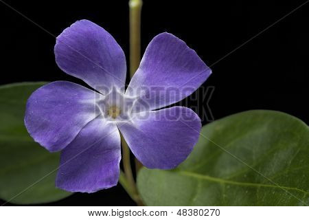 Periwinkle Spring Flower Vinca Major