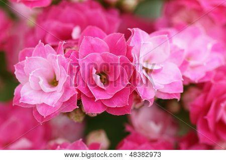 Flores flor de Kalanchoe