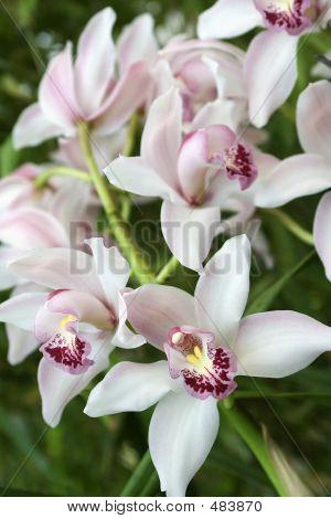 Cymbidium, Orchid