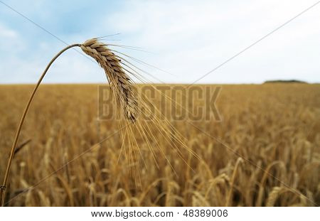 single spica on the background of wheat field and sky