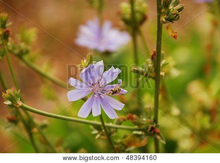 Radicchio Flowers