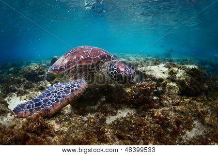 Sea turtle (Chelonioidea)grazing on a bottom of tropical sea