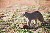 Banded Mongoose In Late Afternoon Light