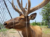 Captive Elk Looking Through Fence