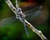 Adult blue dragonfly resting on a branch with wings stretched out