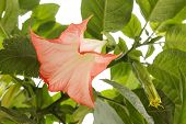 stock photo of datura  - datura flower - JPG
