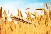 stock photo of ear  - Ears of golden wheat against wheat field and blue sky - JPG