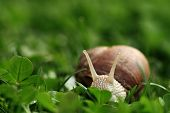 stock photo of garden snail  - Crawler snail - JPG